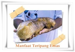 Khasiat teripang emas yang terkandung dalam JELLY GAMAT GOLD-G sebagai pengobatan radang usus herbal tradisional nan alami
